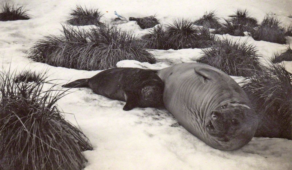 Sel (Seal with pup)